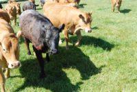 Σε ανοδική τροχιά οι εξαγωγές ευρωπαϊκού βόειου και πρόβειου