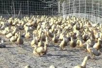 Στήριξη του γαλλικού τομέα κρέατος πουλερικών με 42,5 εκατ. ευρώ αποφάσισε η Κομισιόν