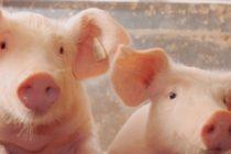 Πρόβες για παγκόσμια δύναμη στο χοιρινό κάνει η Ρωσία