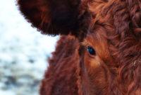 Τουρκία: Προς συμφωνία με Ιρλανδία για εισαγωγή 100.000 ζώντων βοοειδών ετησίως