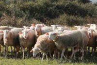 5,5 εκατ. ευρώ σε 16 φορείς για τη Δράση «Γενετικοί πόροι στην κτηνοτροφία»